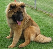 Chow chow german shepherd mix puppies sale ollie the chow chow